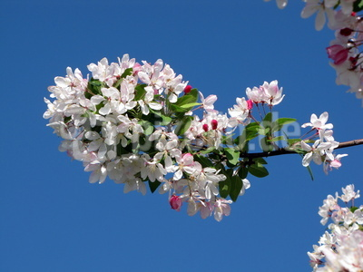 Weißrosa Blütenpracht
