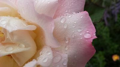 Teerose im Sommerregen
