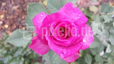Rosenblüte pink