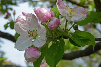 Apfelbaum in voller Blüte