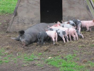 Schweine im Sauerland