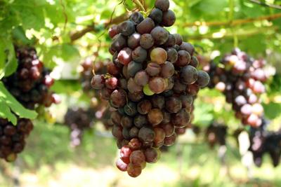 Die Trauben hängen hoch...