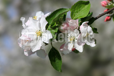 Apfelblüten