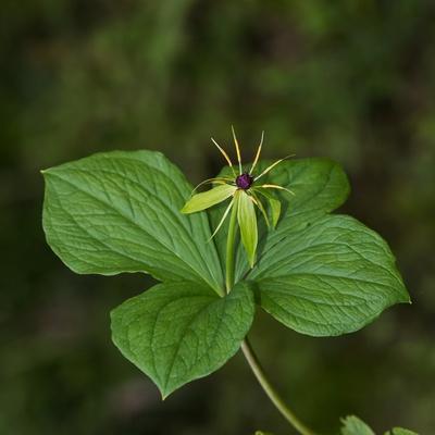 Einbeeren-Blüte