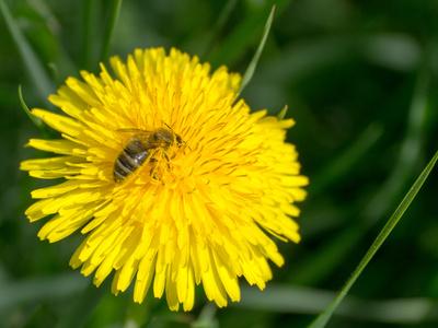 Ein fleissiges, pollenbedecktes Bienchen