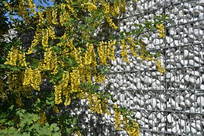 Gold im Garten