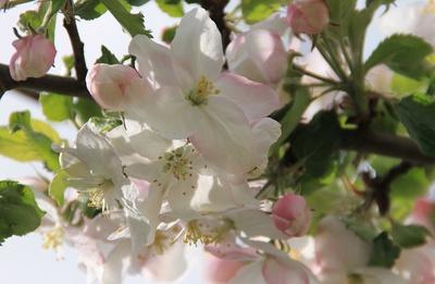 Zeiler Apfelblüte