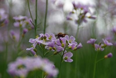 Zarte Wald.Blüten