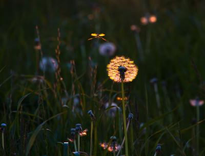 Abendsonne meets Löwenzahn und Mücke