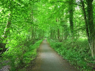 Maigrün auf dem Waldweg