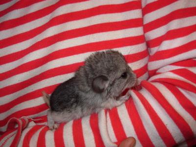 Chinchillababy auf Arm