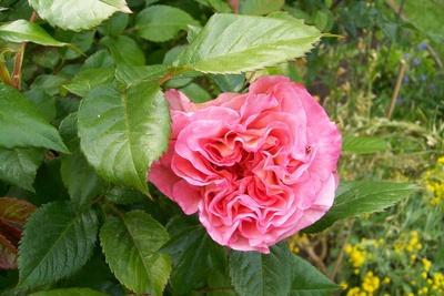 Die erste Rose in Omas Garten blüht