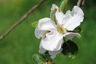 Apfelblüte in Unterfranken 01