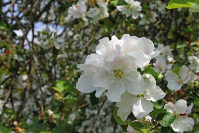 Apfelblüte in Unterfranken 02