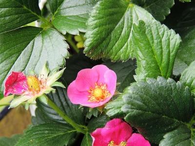 Leckeres Früchtchen - Rosablühende Erdbeeren