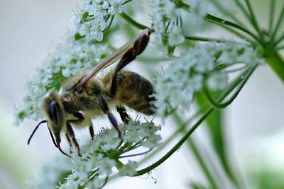naschhafte Wespe