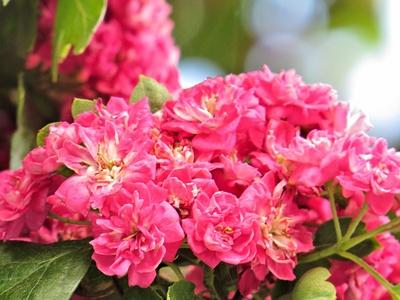 Rotdorn in Blüte