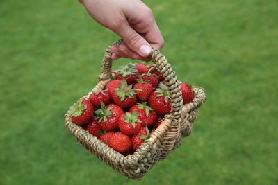 Erdbeeren gepfückt