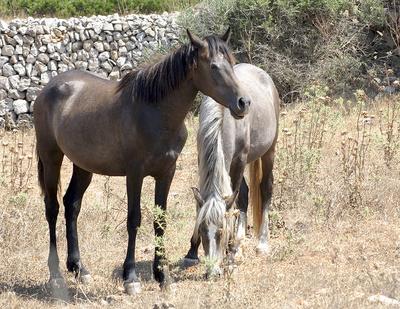 Menorcinische Pferde