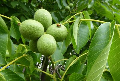 Baumnüsse im Frühstadium