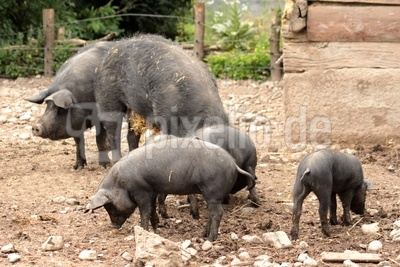 familie schwein