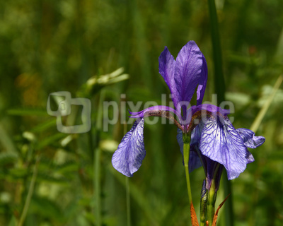 Sibirische Schwertlilie 01