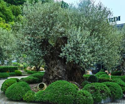 Betagter Olivenbaum