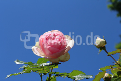 Die Rosen am See 02