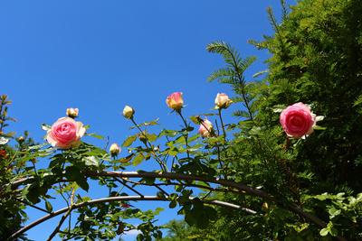 Die Rosen am See 01