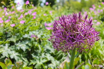 Lauchpflanze