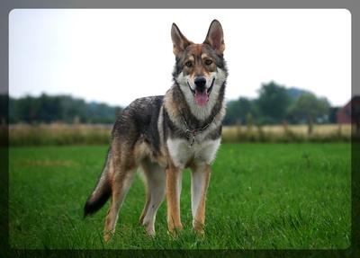 kleiner Wolfshund