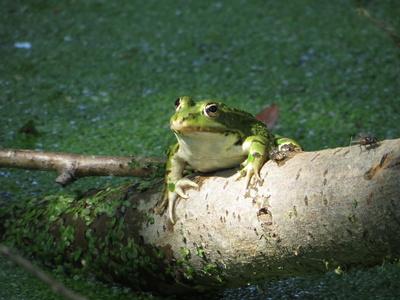 Frosch und zwei Fliegen