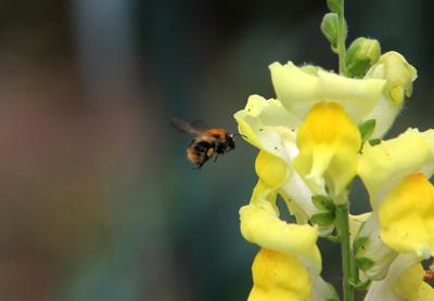 Hummel an gelber Blüte