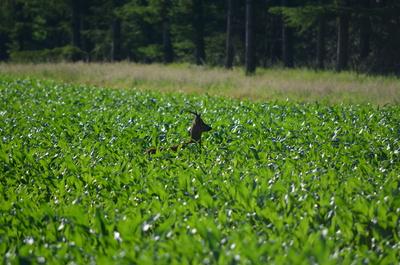Im Maisfeld verborgen