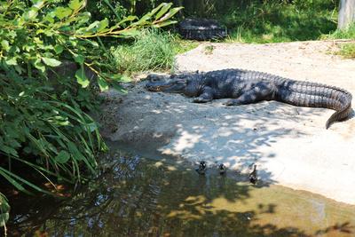 Aligator im Sand