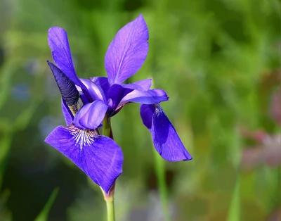 Schwertlilie ,Iris