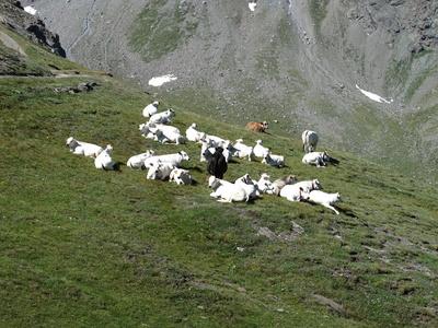 Weiße Rinder