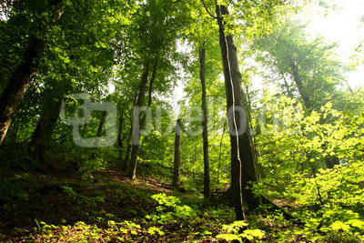 Sommersonne im Buchenwald