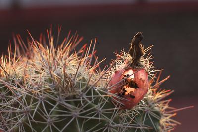 Wespe in Kaktusfrucht