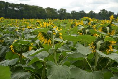 Mannshohe Sonnenblumen, wohin man sieht
