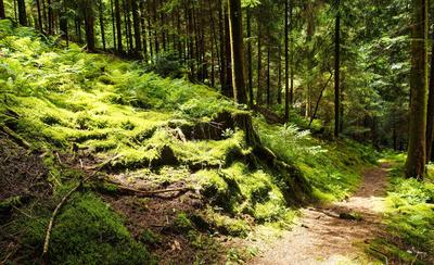 Waldweg Farne Moose