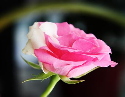 Rosa Rose mit weißen Blättern