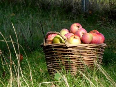 Die Apfelernte beginnt