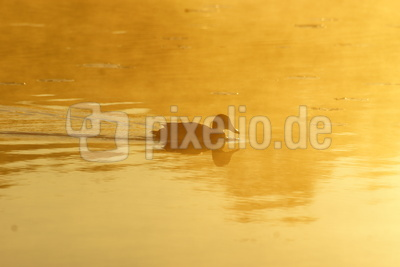 Badeente in Gold