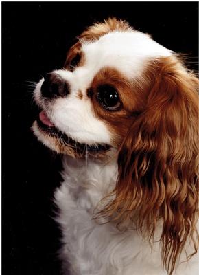 Hund/Cavalier