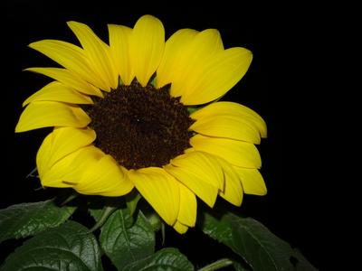 Sonnenblume in der Dunkelheit