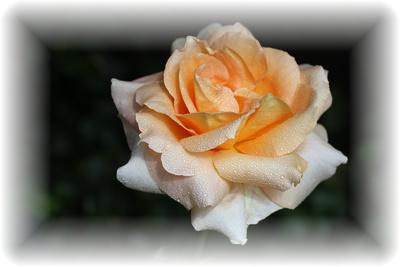 Rosenschönheit-3