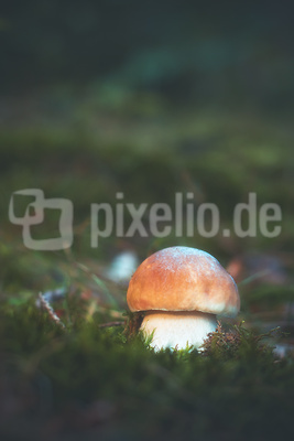 Boletus edulis ( Fichtensteinpilz )