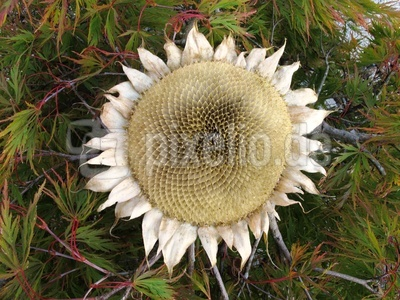 Sonnenblume einmal anders