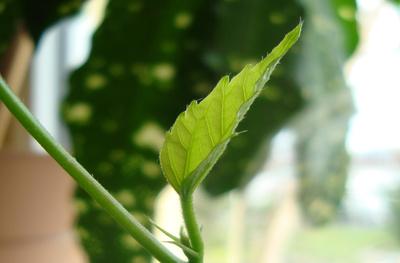 junges Hibiscusblatt